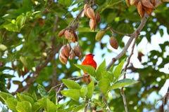 Red fody, lat. Foudia rubra, native bird to Mauritius Stock Photography