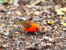 Red fody, lat. Foudia rubra, native bird to Mauritius Royalty Free Stock Image