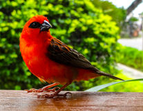 Red Fody Royalty Free Stock Photos
