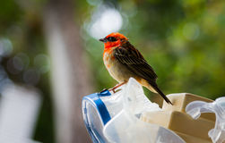 Red Fody perching on a scuba mask stock image