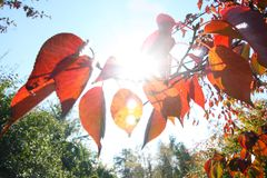 Red foliage. Detail of red autumn foliage royalty free stock photography