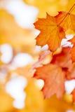 Red foliage. Autumn nice colorful maple foliage Royalty Free Stock Photo