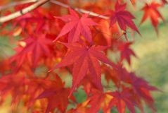 Red foliage of Acer Palmatum, Royalty Free Stock Photos
