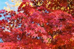 Red foliage of Acer Palmatum, Stock Photo