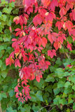 Red foliage in Autumn Stock Photography