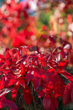 Red foliage in Autumn Royalty Free Stock Image