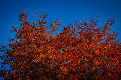 Red foliage on the blue sky Stock Photos