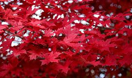 Red foliage of a maple tree. Red foliage on the branches top of the maple tree royalty free stock image
