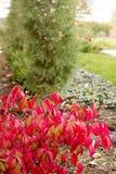 Red foliage bush along trail. Bush with red foliage along trail stock photo
