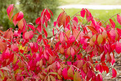Red foliage bush. Along trail royalty free stock photography