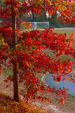 Red foliage of a common tree in suburbs of Virginia Stock Image