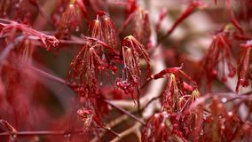 Red foliage and flowers of the weeping Laceleaf Japanese Maple tree Acer palmatum in garden royalty free stock photography