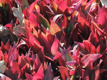 Red foliage Royalty Free Stock Photos