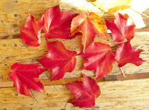 Red foliage of maple leaves Royalty Free Stock Image