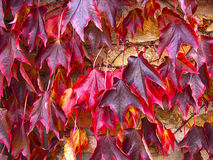 Red foliage of maple leaves Stock Photography