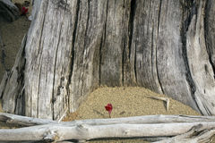 Red foliage of maple seedling among driftwood at Flagstaff Lake. Royalty Free Stock Images