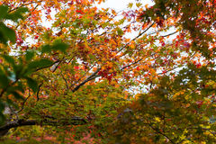Red foliage maple tree leaves in autumn Royalty Free Stock Photo
