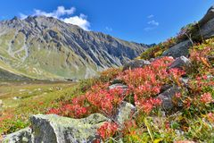 Red foliage in rock in mountain. Red foliage of shrubs stones and in front of alpine mountain royalty free stock photos