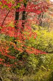Red foliage green foliage. Red foliage overlaying green foliage in New Hampshire woods stock photography