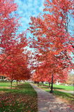 Red Foliage Royalty Free Stock Image
