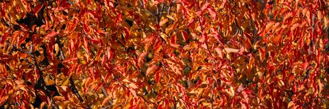 Red foliage plants on a sunny day. Banner for design stock photography