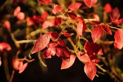 Red leaves on the tree branch Royalty Free Stock Photo