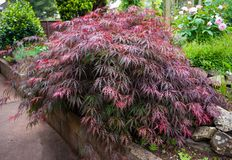 Red foliage of the weeping Laceleaf Japanese Maple tree Acer palmatum in garden royalty free stock photography