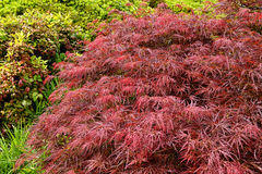 Red foliage of the weeping Laceleaf Japanese Maple tree Royalty Free Stock Photos