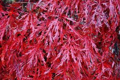 Red foliage of the weeping Laceleaf Japanese Maple tree in autumn. Red foliage of the weeping Laceleaf Japanese Maple tree (Acer palmatum) in autumn stock photography
