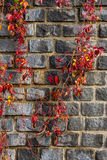 Red foliage winds by Old stone wall Stock Images