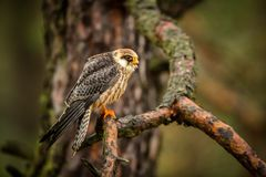 Red fooed falcon. The red footed falcon sitting on the tree into forest Stock Images
