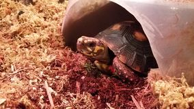 Red Foot Tortoise stock photography