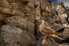 Red footed boobie royalty free stock image