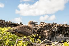 Red footed boobie. This is a photograph of a red footed boobie taken in the galapagos islands, Ecuador royalty free stock images