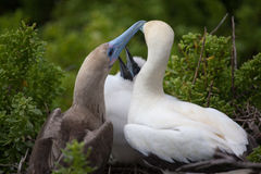 Red-Footed boobies with chick, Stock Image