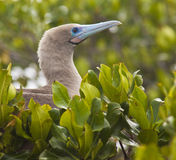 Red-Footed Booby Stock Photos