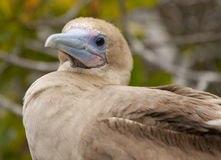 Red-Footed Booby Royalty Free Stock Photos