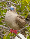 Red-Footed Booby Stock Image