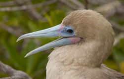 Red-Footed Booby Royalty Free Stock Image