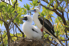 Red-footed booby bird with a chick in the nest Royalty Free Stock Image