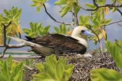 Red-footed booby bird with a chick in the nest Stock Image