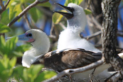 Red-footed booby bird with a chick Stock Image