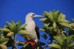 Red-Footed Booby Bird royalty free stock photography