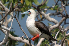 Red-Footed Booby Bird. Royalty Free Stock Image