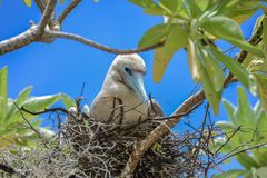 Red-footed Booby, bird royalty free stock photo