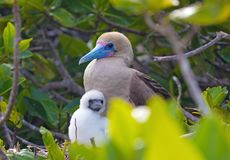 Red Footed Booby Bird with a young chick on the Galapagos Islands