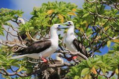 Red-Footed Booby Birds Royalty Free Stock Photos