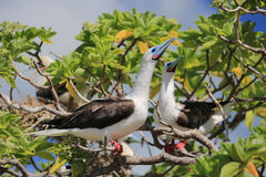 Red-Footed Booby Birds Royalty Free Stock Image