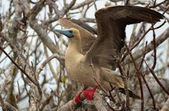 Red Footed Booby Bird on the Galapagos Islands