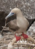 Red Footed Booby Building Nest Royalty Free Stock Photography